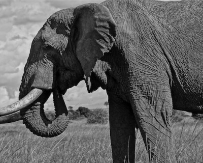 The Mara Elephant Project (MEP) & Wildlife Education, Masai Mara, Kenya.