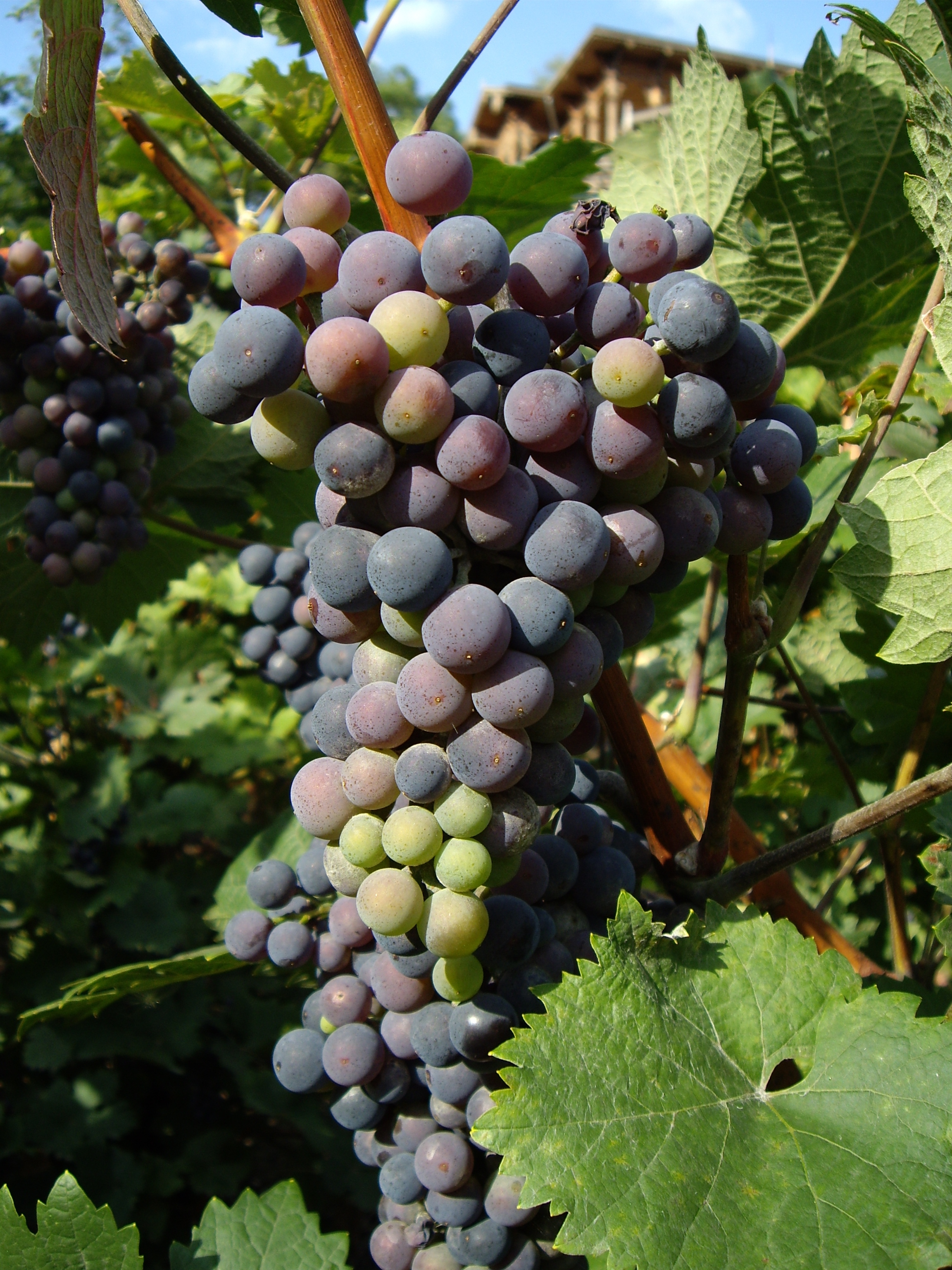 Up close and personal with the grapes of Vinicni Altan.