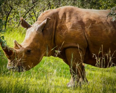 The Business of Rhino Poaching: 5 Things you Need to Know
