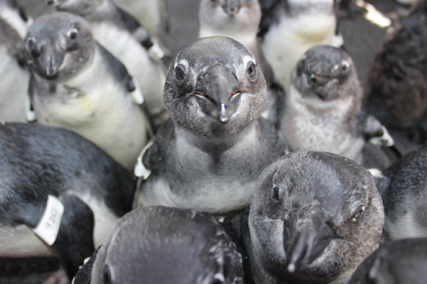 African Penguin Cape Town South Africa SANCCOB
